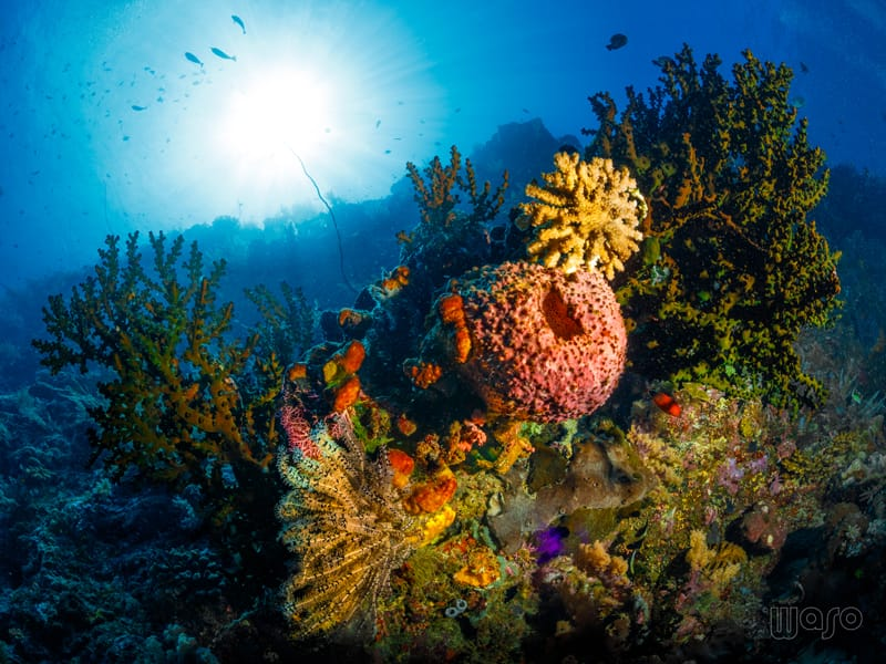Soft corals at bunaken with the sun shining