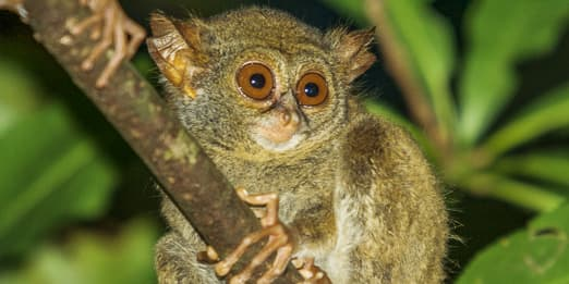 A tarsier looking around