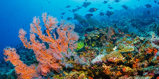 Soft corals and red-tooth triggerfish at Bunaken