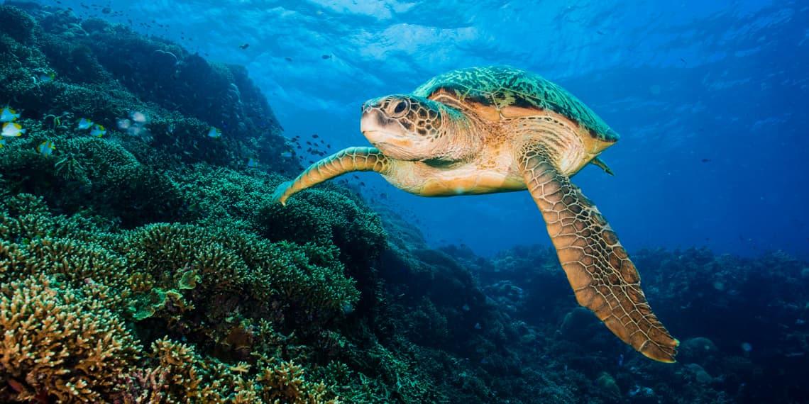 Turtle swimming near a reef of Bunaken