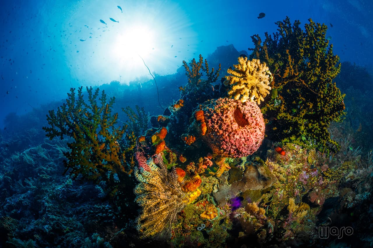 Beautiful soft corals at Bunaken
