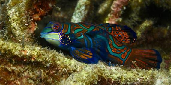 A Mandarinfish at Lembeh Strait